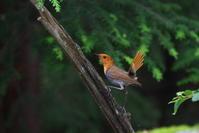 亜高山の夏鳥 その10(最終回) - 瑞穂の国の野鳥たち