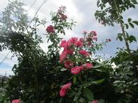 庭の薔薇(追記あり) - Macんち日記