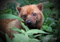 ヤブイヌ:Bush dog - 動物園の住人たち写真展