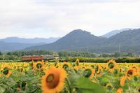 五能線と満開の向日葵 - 飛行機&鉄道写真館