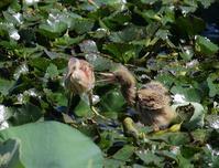 幼鳥は4羽、元気はつらつ、、 - ぶらり探鳥