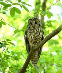 春先に出会ったフクロウを(その4)・・・ - 一期一会の野鳥たち