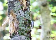 キバシリは頭を下に向けて幹を下りることはできない - THE LIFE OF BIRDS ー 野鳥つれづれ記