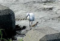 イソシギ・コサギ・オナガ・・・浅川(日野) - 浅川野鳥散歩