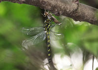 大量発生したヤブヤンマ - 公園昆虫記