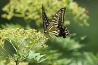アゲハ蝶 - 近隣の野鳥を探して