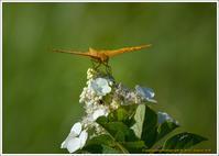 湿原の朝 ツマグロヒョウモン - 野鳥の素顔 <野鳥と・・・他、日々の出来事>