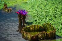 オニバスの花 - デジタルで見ていた風景