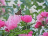 薔薇を主役にするつもりが(T_T) - fukko-san*  blog