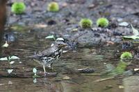 水場のクロツグミ - 上州自然散策2