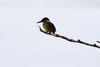 今日のカワセミ - 今日の鳥さんⅡ