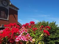 ツタに似た葉をつけるアイビーゼラニウム - 神戸布引ハーブ園 ハーブガイド ハーブ花ごよみ