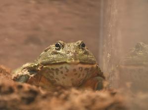 カエル、かわいいけれど苦手な人は注意の - bonsoir