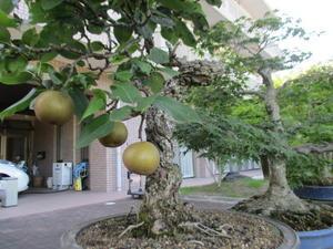 盆栽のナシの木サン・ビレッジ夢前 - サン・ビレッジ夢前/サン・ビレッジ姫路のブログ