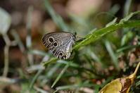 ウラナミジャノメ他8月18日 - 超蝶