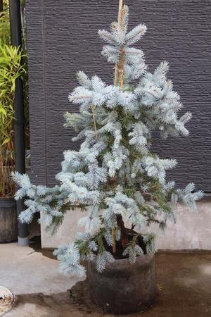 プンゲンストウヒ・ホプシー 販売 画像 写真 値段 価格 庭木 安行 植木 クリスマスツリー お問合せ商品 -