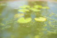 pygmy waterlily - Une fleur