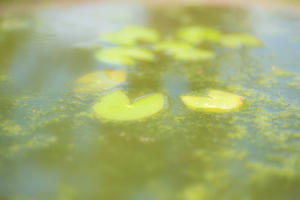 pygmy waterlily -