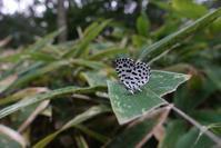 ゴイシシジミやヒカゲ3種など - 蝶超天国