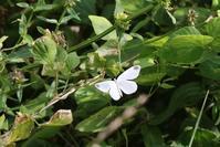 ヒメシロチョウなど - 蝶超天国