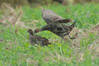 キジの若鳥たち - 近隣の野鳥を探して