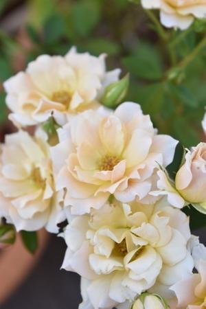 ふんわり可愛い薔薇♪ - 小さな庭 2