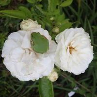 蛙、バラの花に座る - 冬青窯八ヶ岳便り