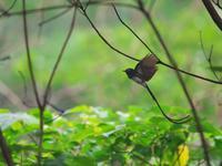 夏の思い出より・・・サンコウチョウ④ - 鳥見んGOO!(とりみんぐー!)野鳥との出逢い