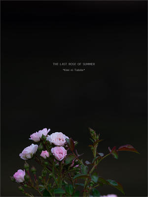 THE LAST ROSE OF SUMMER -