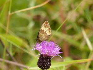 ベニヒカゲ蝶友に誘われて -