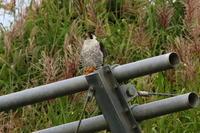 ねばり強いハヤブサ - 今日の鳥さんⅡ