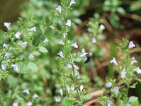 香りと小花を楽しめるカラミント - 神戸布引ハーブ園 ハーブガイド ハーブ花ごよみ