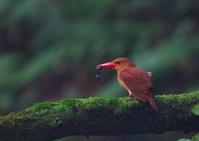 遠征アカショウビン7 - 今日も鳥撮り