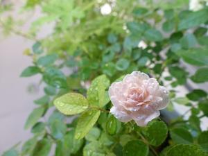 薔薇を眺めて・・・再び -