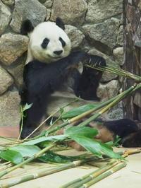 昨日は、パンダの赤ちゃんが生まれて4日目でした。 - 風に流され、気まま気まぐれ