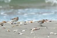 シギチ巡り - ひとり野鳥の会