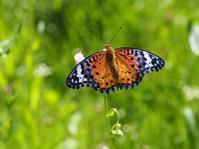 蝶々 - 鹿深の森
