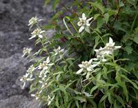 2008年夏八ヶ岳の花 - 清治の花便り