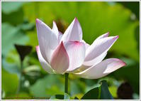 蓮の花と花托 - 野鳥の素顔 <野鳥と日々の出来事>