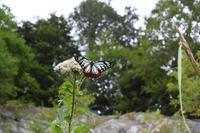 再会(1) - 蝶と蜻蛉の撮影日記