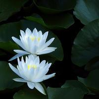 三渓園の夏、日本の夏蓮の落葉と睡蓮と18.07.21 06:37 - スナップ寅さんの「日々是口実」