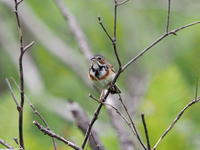 尾瀬ヶ原にはホオアカもいた - コーヒー党の野鳥と自然 パート2