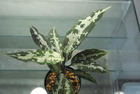 "Aglaonema pictum 'A しるば~らいん' ""Aceh Sumatera"" - PlantsCade -2nd effort"