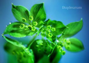 ブプレリウム:Bupleurum -
