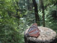 早くもアサギマダラ飛来 - 秩父の蝶