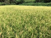 稲刈り - 自然栽培 果樹カナン