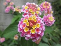 【涼しくなったので咲き出した花】 - お散歩アルバム・・残暑の日々
