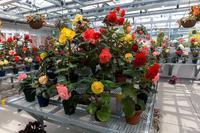 神代植物園のベゴニア - あだっちゃんの花鳥風月