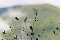 ゴマシジミの産卵と卵 - 蝶超天国
