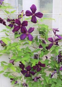 クレマチス2番花&金農ナイン咲き - ペコリの庭 *